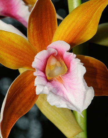 orchid, flower