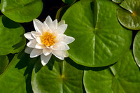 water, lily, pad, flower, white