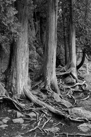 "tree, trunk, ""black and white"" cedar, root, roots"